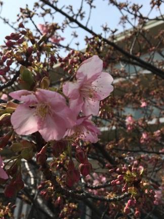 sakura - コピー.jpg
